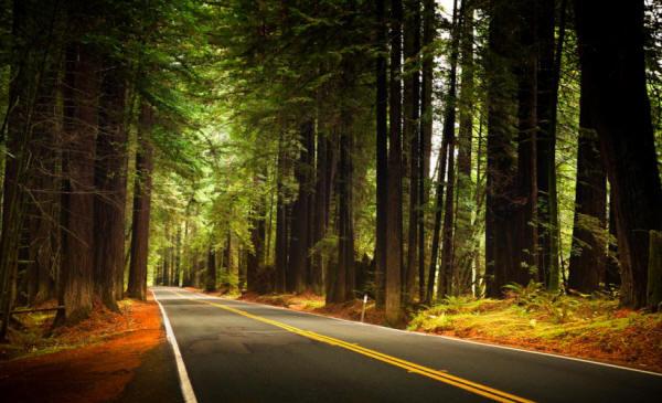 Sequoie che costeggiano la strada